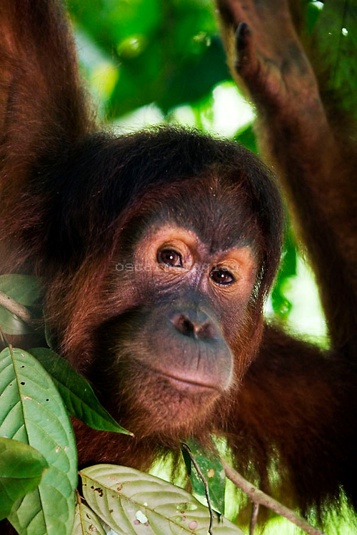One of orang utan named Janggo already freely in the forest around Bukit Tiga Puluh National Park after she get reintroduction program in sungai pengian center of reintroduction for orang utan run by Frankfurt Zoological Society(FZS)