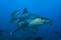 Silvertip Reef Shark and Rainbow Runners