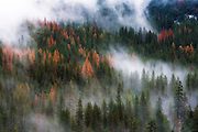 Pines and fog, Yosemite Valley, Yosemite National Park, California