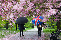 © Licensed to London News Pictures. 30/04/2018. London, UK. People with umbrellas walk through cherry blossom trees during wet and windy weather in Greenwich Park in London. The capital has been experiencing heavy rain and windy weather today. Photo credit: Vickie Flores/LNP
