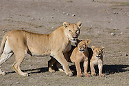 Female African lions with cubs in savannah habitat