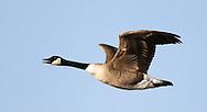 A Canada Goose at the Delta Marsh, early Thursday, April 12, 2012. (TREVOR HAGAN)