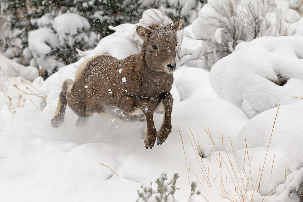 Nothing like a little one, like this bighorn lamb,to make the most of the first big snowfall!