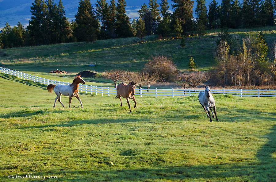 Horses in pasture near Polson Montana