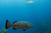Black Grouper (Mycteroperca bonaci) & Yellowtail Snapper (Ocyurus chrysurus)<br /> Hol Chan Marine Reserve<br /> near Ambergris Caye and Caye Caulker<br /> Belize Barrier Reef, second largest barrier reef in the world<br /> Belize<br /> Central America