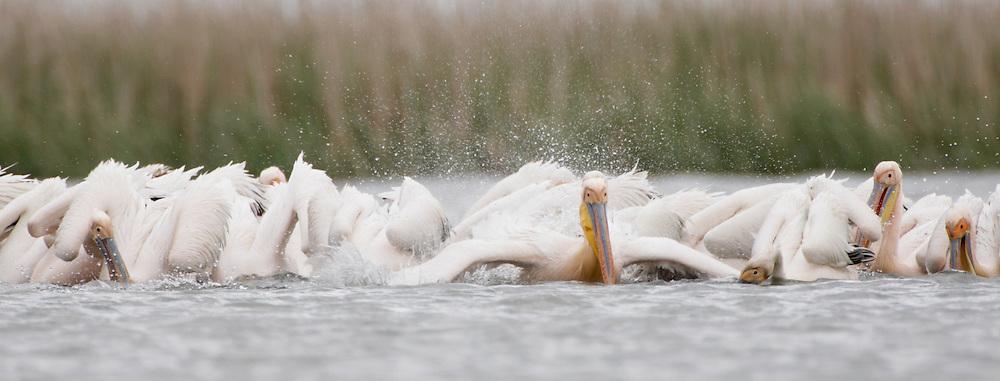 White Pelican (Pelecanus onocrotalus) in Danube Delta, Romania. May 2009 <br /> Mission: White Pelican