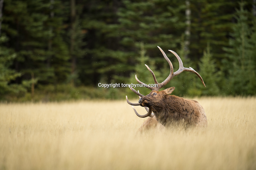 mature bull elk bedded in grass meadow