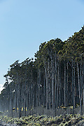 Kahikatea Forest at Bruce Bay, South West Coast, New Zealand