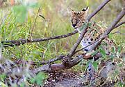 Serval cat ( Leptailurus serval) from Maasai Mara, Kenya.