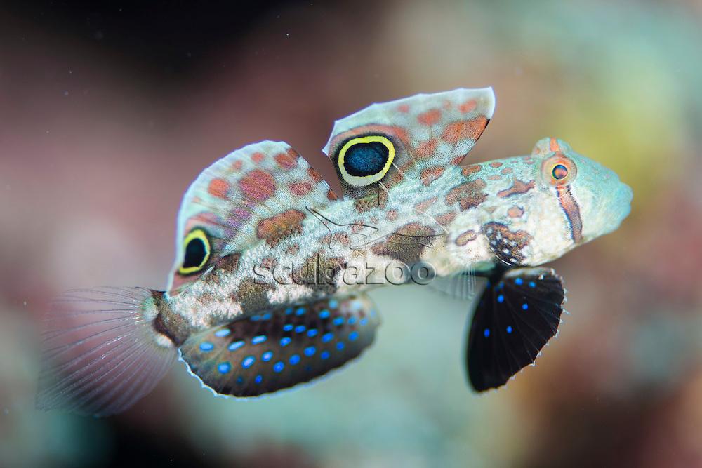Signal Goby, Signigobius biocellatus, Maumere, Flores, Indonesia.