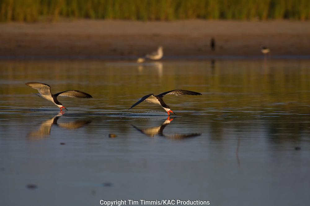 Black Skimmer, Rynchops niger, Bryan Beach, Texas gulf coast, skimming with beak in water, splashing water