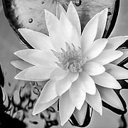 Detail of Waterlillie