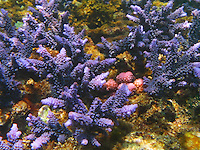 Fantastic purple coral from a reef in Bali, Indonesia.