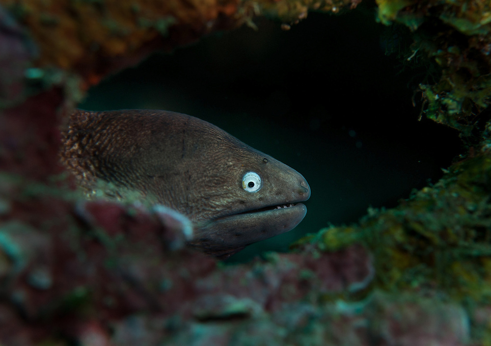 White -eyed Moray eel. In the Philippines, muck divers head straight to Dauin to begin the hunt. It is considered one of the premier muck diving locations on the planet. On a bad day at Dauin, you can spot more rare animals than a decade out on the reef..