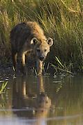 Spotted Hyena<br /> Crocuta crocuta<br /> Masai Mara Triangle, Kenya