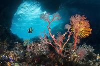 Bo'o Windows--Damaged Sea Fan<br /> <br /> Shot in Indonesia