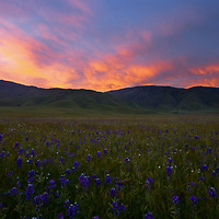 The spring wildflowers of California are a sight to see. I usually like fall but when the rains come and turns everything green, spring comes in a close second! We found some nice lupine to complement the amazing sky out on the Tehachapi Mountains. I love photographing the spring wildflowers of California.