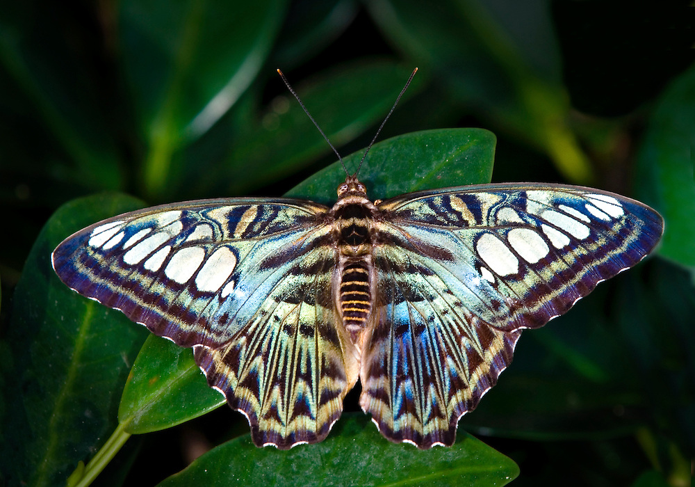 Clipper Butterfly  (Parthenos sylvia)