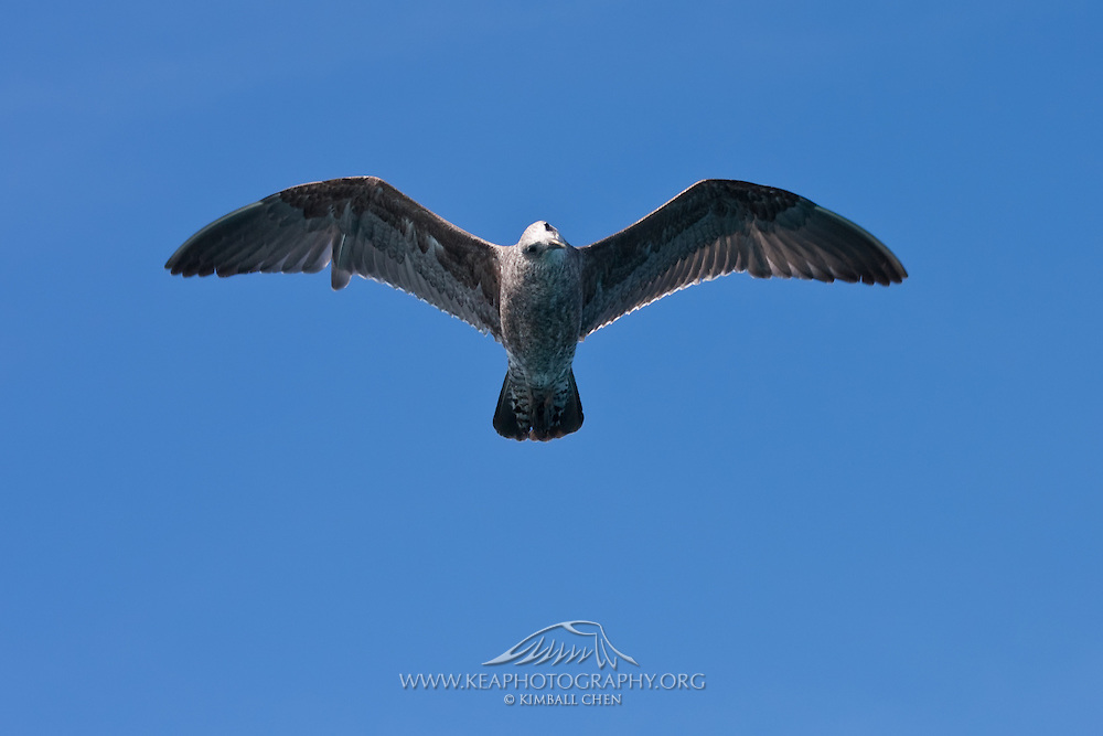 Kelp Gull, juvenile, New Zealand