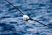 White-capped Albatross, New Zealand