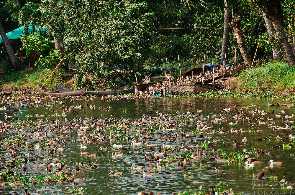 Hundreds of ducks at a duck farm on the Kerala Backwaters.