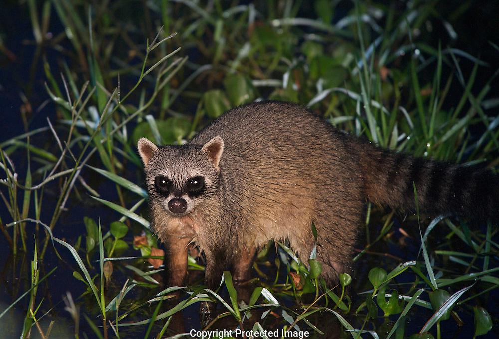 Crab-eating Raccoon. (Procyon cancrivorous), araras eco lodge, sao paulo, brasil, Isobel Springett