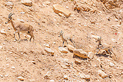 A herd of Ibex (Capra ibex nubiana) wondering in the town. Photographed in Mitzpe Ramon, Negev, Israel