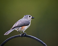 Tufted Titmouse. Image taken with a Nikon D5 camera and 600 mm f/4 VR telephoto lens (ISO 800, 600 mm, f/5.6, 1/1250 sec).