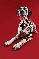 Dalmatian crouching