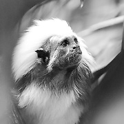 Soul Survival: Cotton-TopTamarin (Scientific name: Saguinus oedipus)<br />