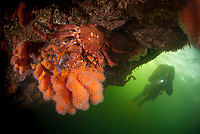 Diver approaching a stone crab, Lithodes maja, sitting on top of the cold water leather coral called Dead man's fingers, Alcyonium digitatum in Trondheimsfjorden, Norway.