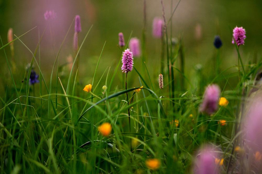 France, Languedoc Roussillon, Lozère (48), Mont Lozère,  Cevennes, fleurs de Renouée bistorte, N.L.: Polygonum bistorta, (Polygonacées)