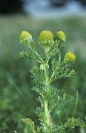 Pineappleweed - Matricaria matricarioides. Bright green, hairless perennial that smells strongly of pineapple when crushed. Grows on disturbed ground, paths and tracks. FLOWERS comprise yellowish green disc florets only (no ray florets) and these are borne in rounded to conical heads, 8-12mm long, the receptacles of which are hollow (May-Nov). FRUITS are achenes. LEAVES are finely divided and feathery.