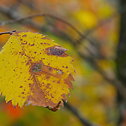 A single leaf showing wonderful detail as it changes colors.  There are so many subtle little features to this leaf, just look at it for a while to start seeing them.