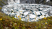 Yellow flowers blooming at ice-filled Crucible Lake in summer in Mount Aspiring National Park, Southern Alps, Otago region, South Island of New Zealand. Beginning in the Siberia Valley, the Crucible Lake Track departs from the Gillespie Pass Circuit about an hour above the Siberia Hut. UNESCO lists Mount Aspiring as part of Wahipounamu - South West New Zealand World Heritage Area. This image was stitched from multiple overlapping photos.