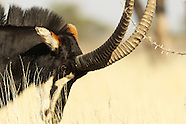 Namibia sable hunt