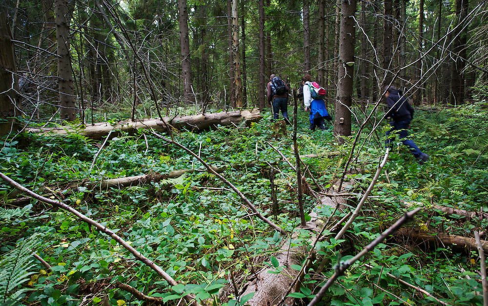 Hikers in Bieszczady National Park. After  clear-cutting this part of the park around WW I & WW II which was naturally stocked with Common beech (Fagus sylvatica), it was reforested with fast growing spruce (Picea sp.). Bukowiec, Poland.