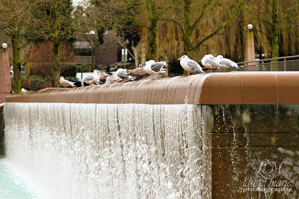 Bellevue, WA Downtown Park waterfall with seagulls