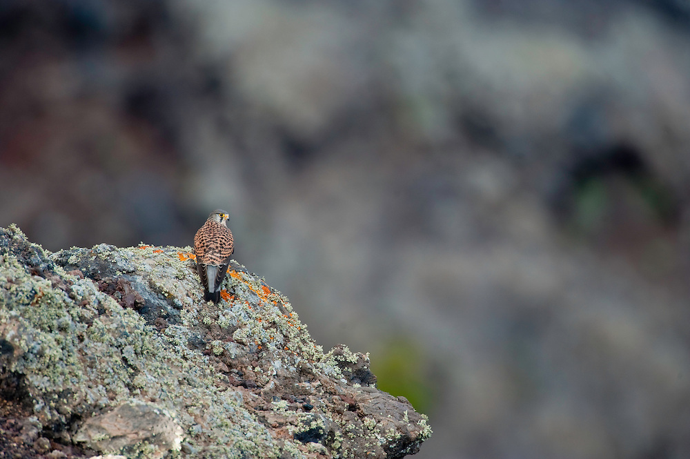 La Palma Kestrel, (Falco tinnunculus canariensis) an endemism subespecie from the occidental Canary Islands. La Palma Island, Canary Islands, Spain.