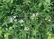 ALPINE MILK-VETCH Astragalus alpinus (Height to 15cm) is a straggly, spreading perennial. The leaves comprise 7-15 pairs of leaflets and the flowers are pale blue and borne in clustered heads on stalks (Jul-Aug). It is a rare plant found on mountains in central Scotland.