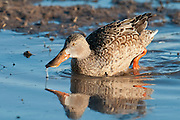 Northern Shoveler, Anas clypeata, female, Bosque del Apache NWR, New Mexico