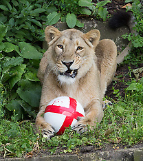 JUN 12 2014 Three lions play with England ball ahead of the World Cup
