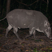 The wild boar (Sus scrofa), also known as the wild swine or Eurasian wild pig is a suid native to much of Eurasia, North Africa, and the Greater Sunda Islands. Species from Kaeng Krachan National Park, Thailand.