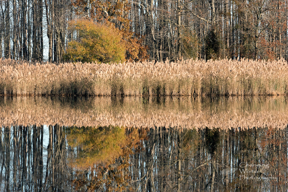The perfectly glassy, smooth surface of Bear Swamp Pool creates a crisp mirror image of the trees and marsh grasses lining its shore--at Bomaby Hook National Wildlife Refuge, Delaware, USA.