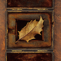 Dried brown leaf of Holly or Ilex aquifolium tree with sharp thorns lying in old velvet box