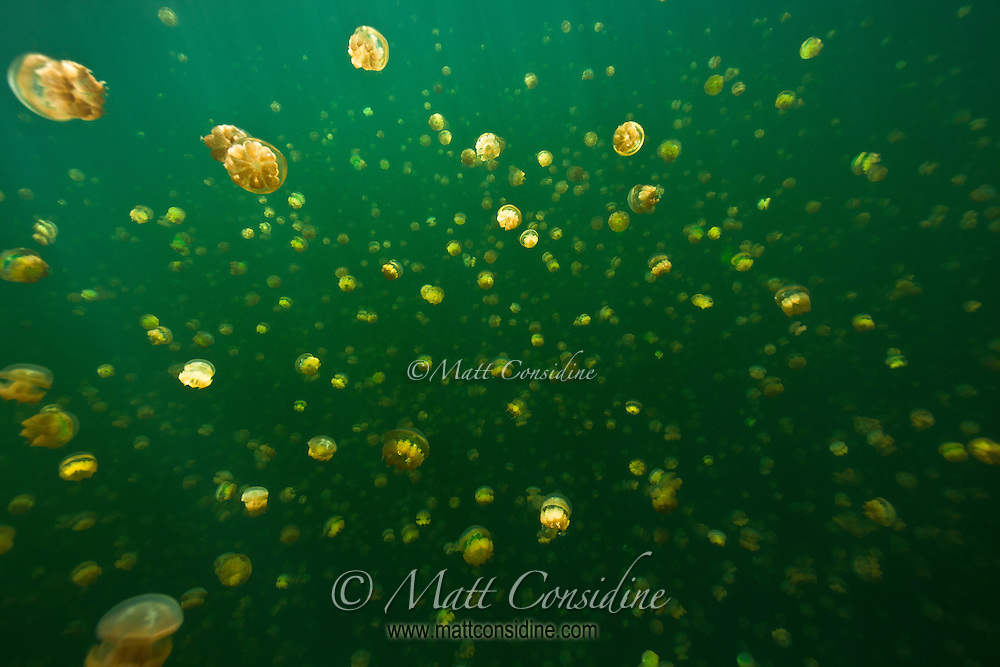 Looking through the swarming jellyfish of Jellyfish Lake in Palau is a magical and unforgettable experience, Palau Micronesia. (Photo by Matt Considine - Images of Asia Collection)