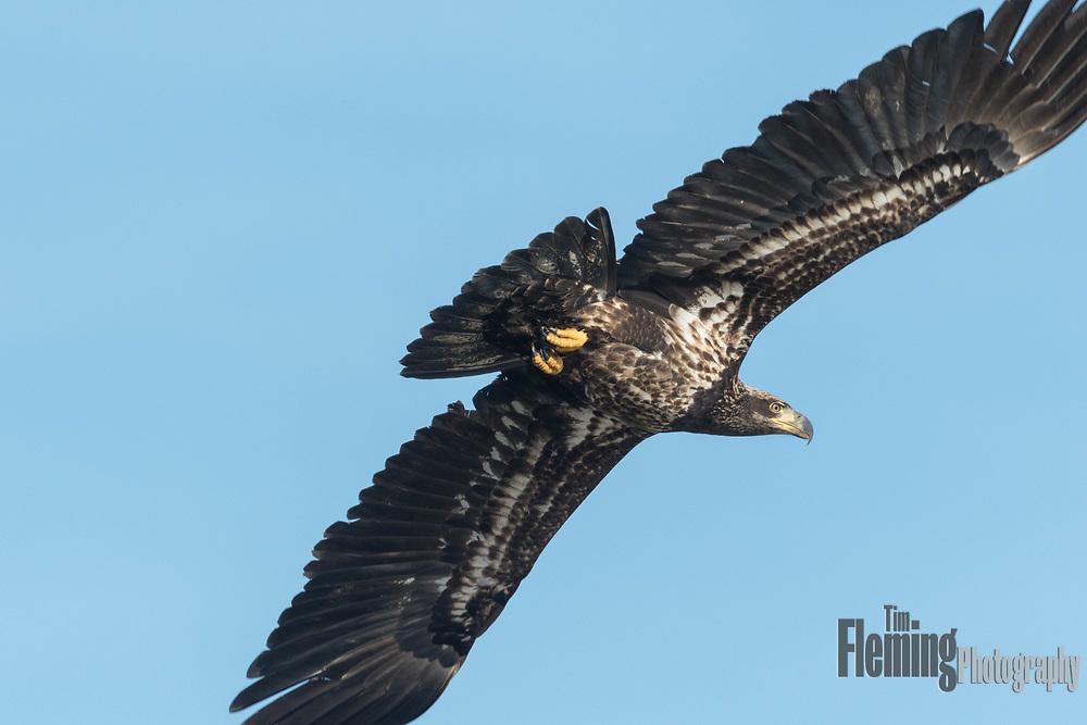 Bald eagle: Haliaeetus leucocephalus over the Sacramento National Wildlife Refuge