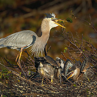 South Florida nature photography from outdoor photographer Juergen Roth showing a Great Blue Heron serving dinner to its chicks at Wakodahatchee Wetlands located west of Delray Beach in Palm Beach County, FL.  <br />
