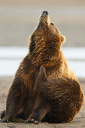 North American brown bear /  coastal grizzly bear (Ursus arctos horribilis) sow scratches herself on a beach, Lake Clark National Park, Alaska, United States of America