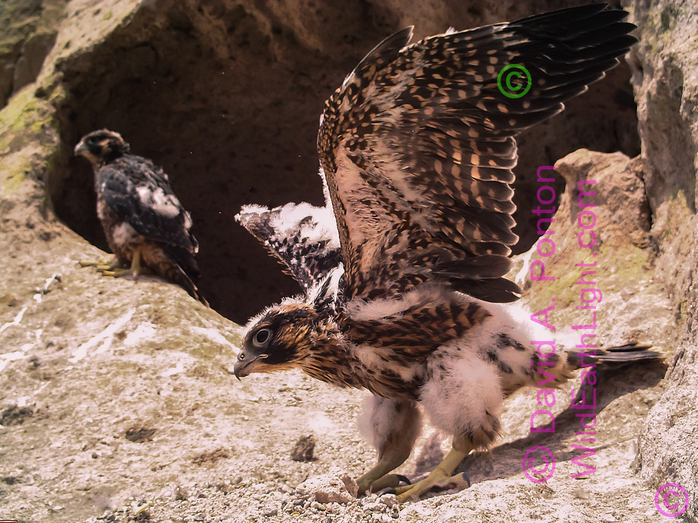 Nestling female peregrine falcon, 32 days old, on a ledge in front of the eyrie cave exercising her wings.  © 2013 David A. Ponton [photo by motion-activated camera, low-resolution limits repro. size]